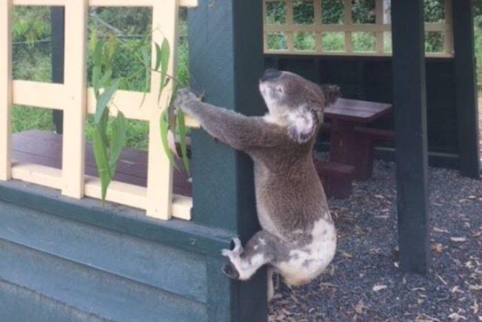"""Un koala mort, ţintuit de un stâlp, provoacă indignare în Australia. """"Ce gunoaie bolnave avem în această lume"""""""