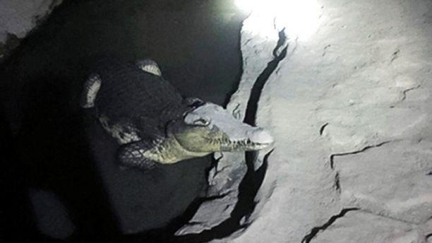 Poliția rusă a descoperit un crocodil de 2 metri în subsolul unei case, în timpul unor percheziții