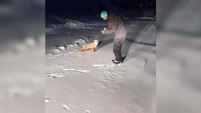 Vulpe, surprinsă cum mânca din palma unui instructor de schi