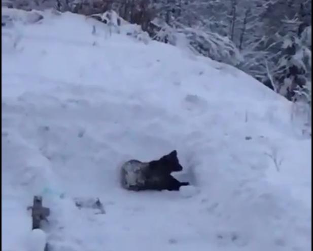 Momentul în care un pui de urs se joacă în zăpadă, sub privirile turiștilor din Predeal