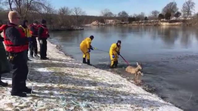 Căprioară salvată de pompieri de pe gheața subțire a unui iaz