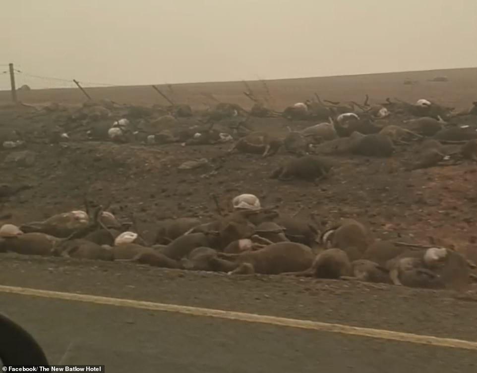 Mii de cadavre de canguri și urși koala, filmate pe o șosea din Australia | VIDEO