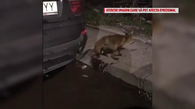 Vulpe prinsă pe un bulevard din Bucureşti.