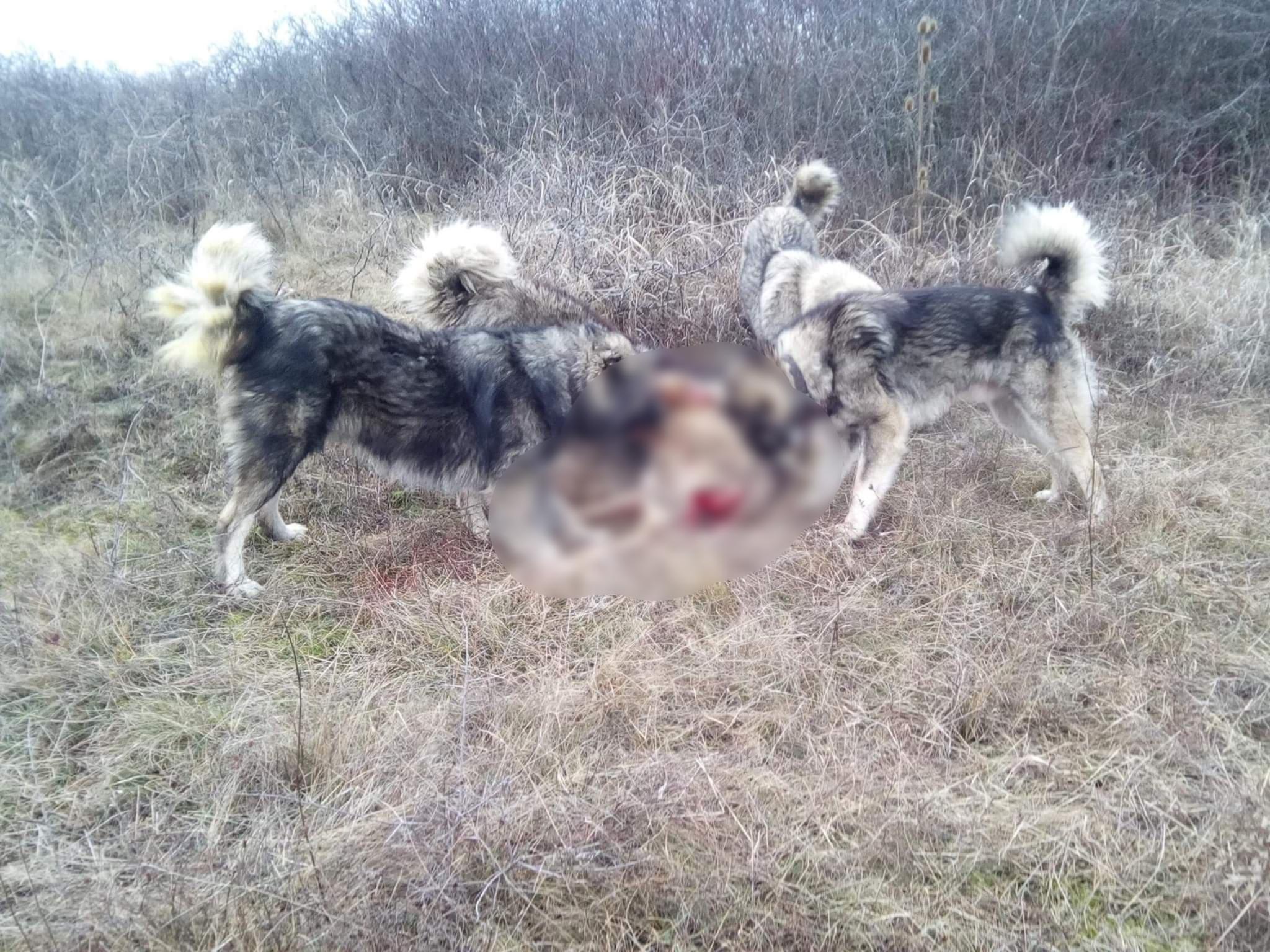 Distracția macabră a unor tineri ciobani din Bistrița: își pun câinii să omoare animalele din sat