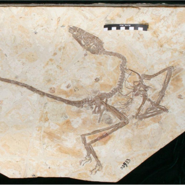 O nouă specie de dinozaur descoperită în China. Cum arăta ''dragonul dansator''