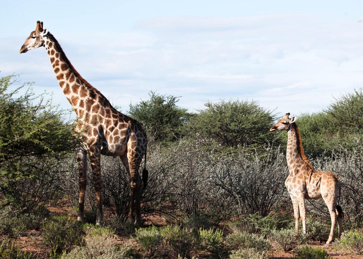 Oamenii de știință au descoperit cu uimire două girafe pitice, în Africa. FOTO