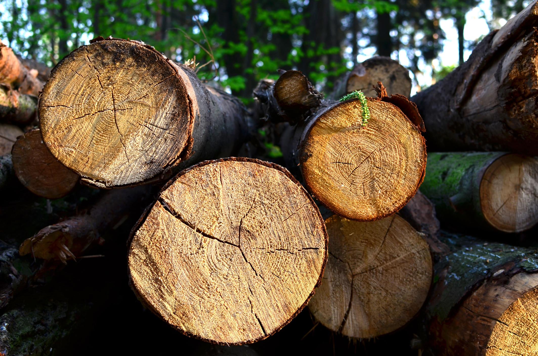 """DNA deschide o anchetă privind tăierile ilegale de lemn. """"Este vorba despre Mafia Pădurilor"""""""