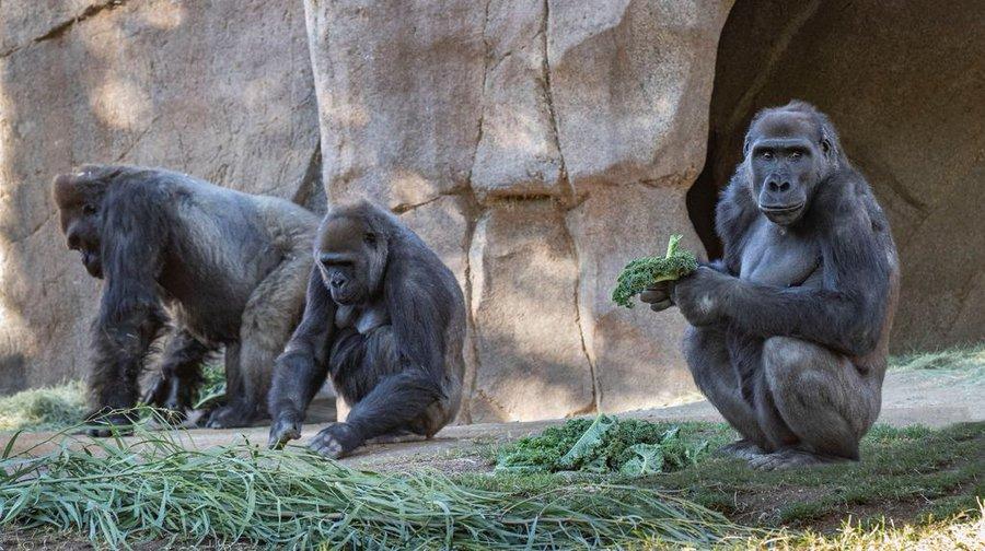 Două gorile de la o grădină zoologică din California, testate pozitiv pentru noul coronavirus