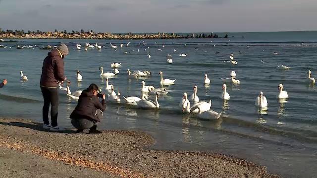 Alertă de gripă aviară în Constanța și Tulcea. Mai multe lebede au fost găsite moarte