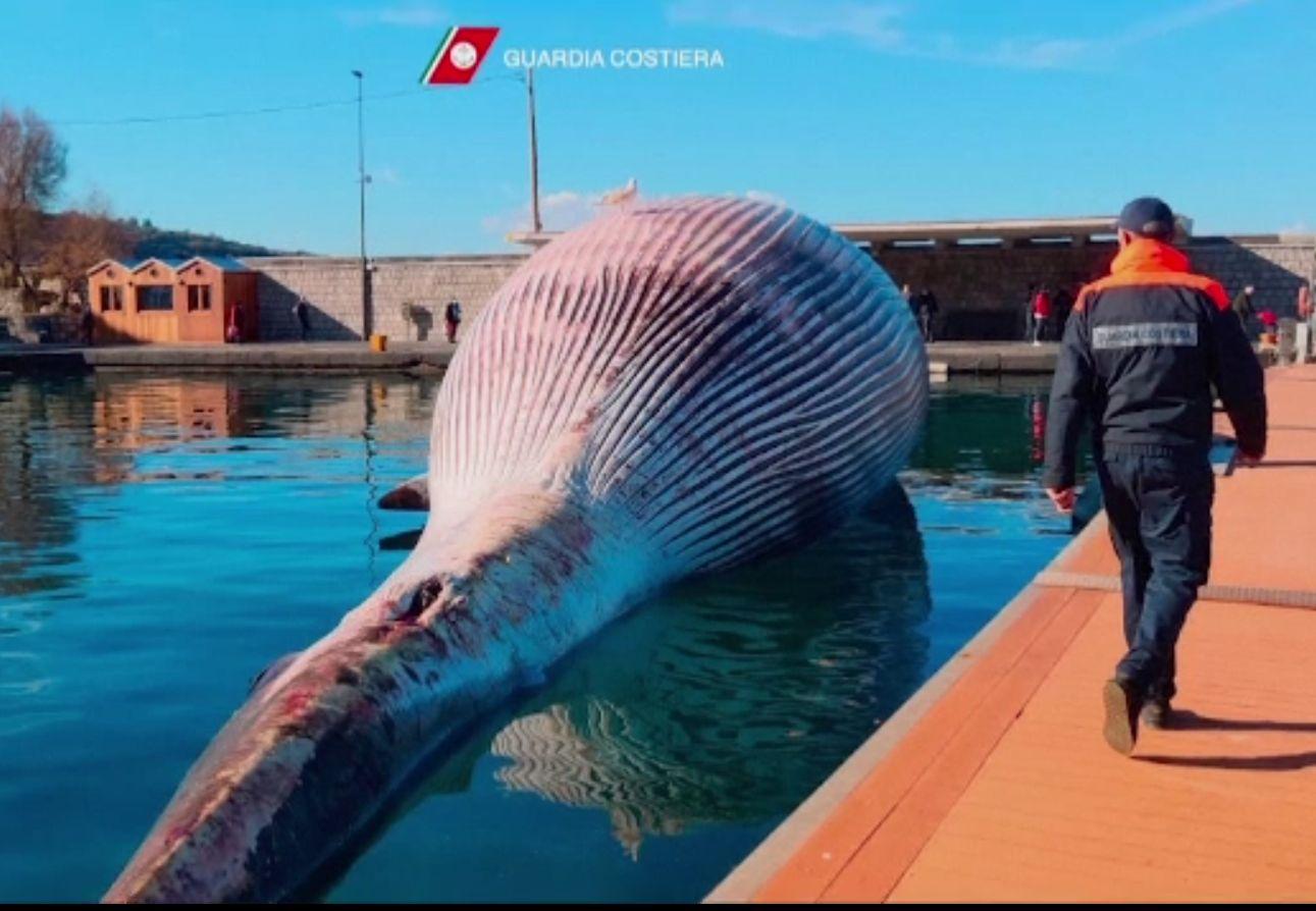 Cea mai mare balenă din Marea Mediterană, găsită moartă în larg. Cântărea 70 de tone