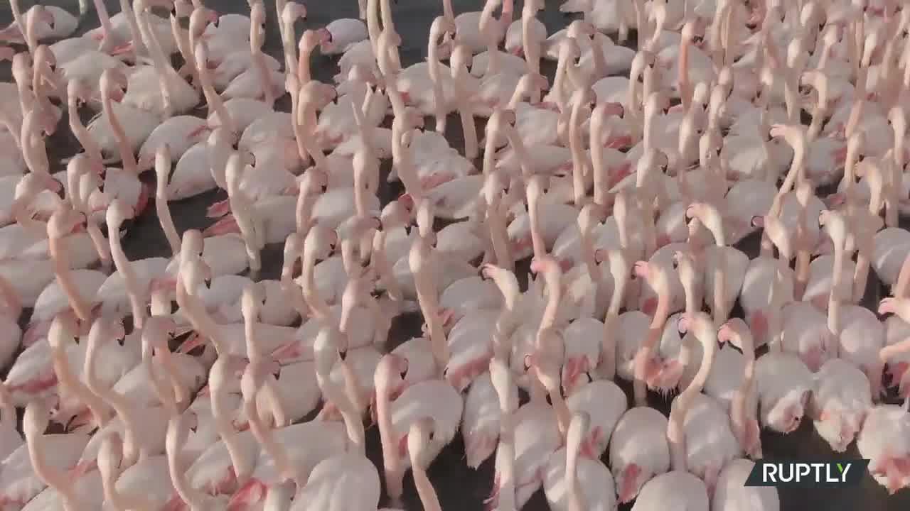 VIDEO impresionant cu un stol de păsări flamingo, filmat cu o dronă