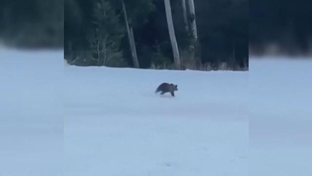 A fost prins ursul care se plimba pe pârtia din Predeal. Unde va fi dus animalul