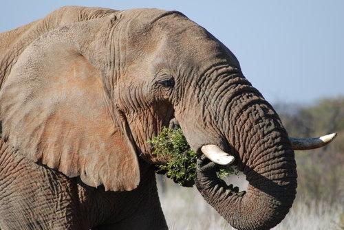 Tupeu de vanator! A impaiat elefantul ucis in Botswana si l-a luat acasa!