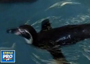 Pinguinul ajuns in Noua Zeelanda, supus unei endoscopii. A recurs la un meniu periculos