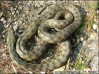 Ca-n filmele de groaza! Terorizata de un cuib de serpi gasit in casa