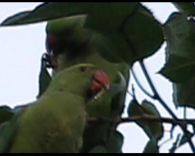 Papagali de Bucuresti. Pasari exotice in parcurile din Capitala