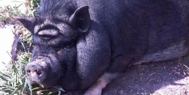 Chipul lui Yoda, din Star Wars, descoperit pe fruntea unui porc din Mexic