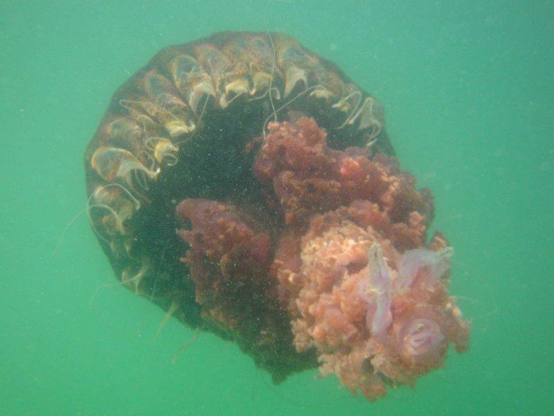 O creatura marina uriasa ataca inotatorii de pe o plaja din California.