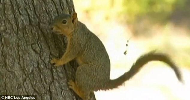 Teama de ciuma in SUA din cauza unei veverite: multe zone de camping din Los Angeles au fost inchise