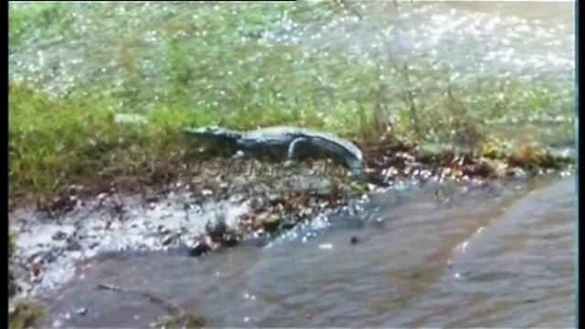 Crocodil vazut in apele unui lac din Creta. Reptila a semanat spaima in turistii aflati in vacanta pe insula