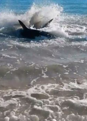 Imagini incredibile filmate in Australia. Ce s-a intamplat cu un rechin, dupa ce a atacat un leu de mare. VIDEO