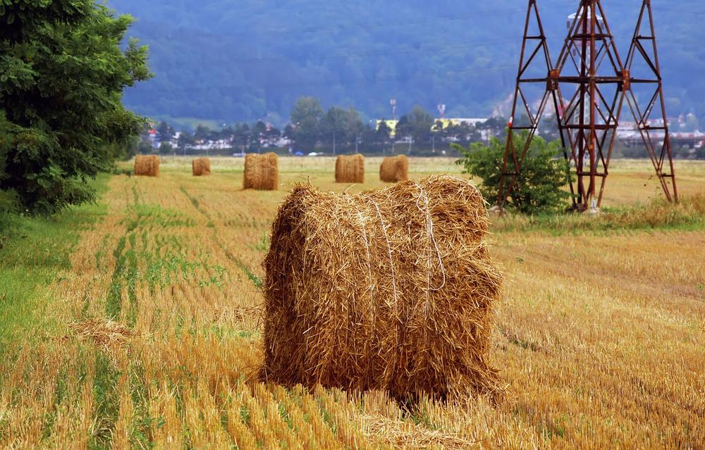 Productia record de peste 8 milioane de tone de grau, pusa in pericol. Sute de hectare risca sa devina hrana pentru animale
