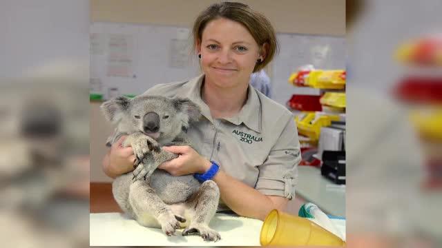Un pui de urs koala, lovit de o masina, s-a prins de bara din spate a