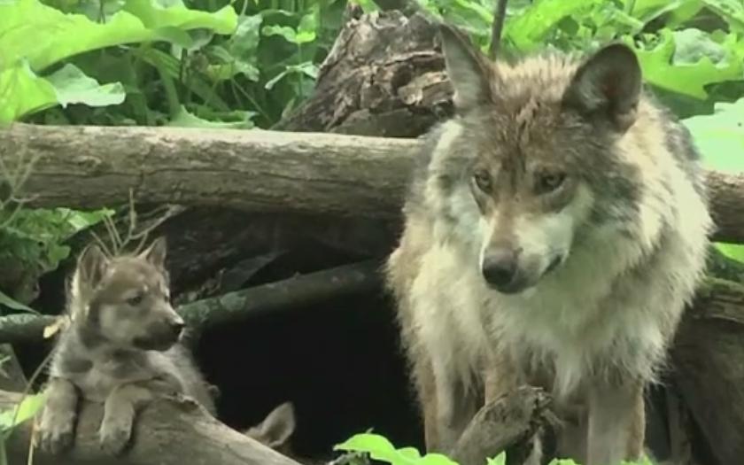 Sarbatoare intr-un parc zoologic din Illinois, dupa nasterea unor pui de lup dintr-o specie rara. Cum arata micutii