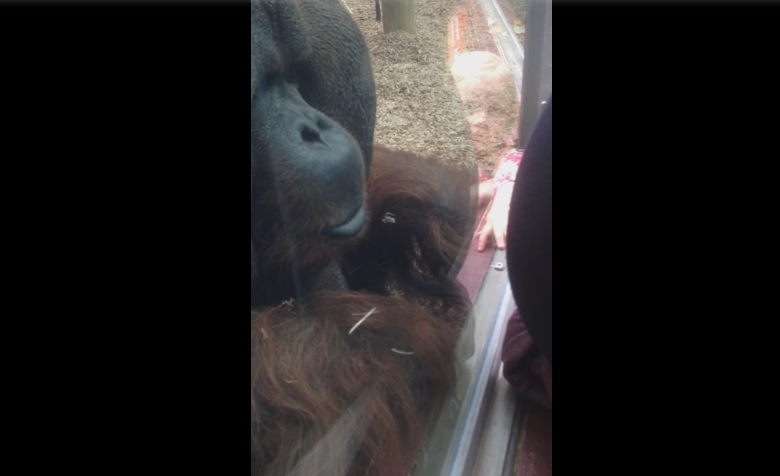 O femeie insarcinata s-a apropiat de un urangutan la o gradina zoologica din Marea Britanie. Ce reactie a avut acesta