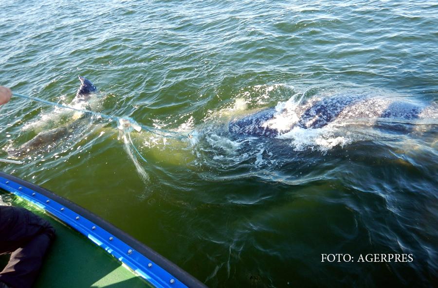 Motivul pentru care o balena a incercat sa le atraga atentia turistilor din Australia. Autoritatile au intrat in alerta
