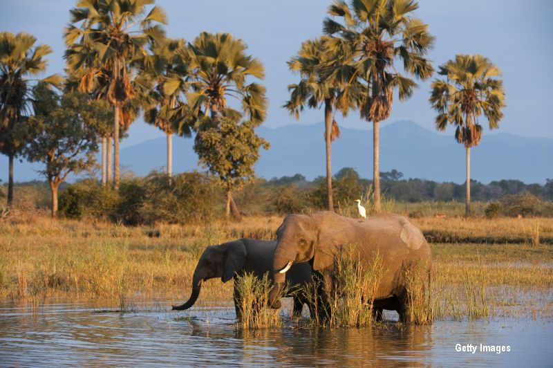500 de elefanti din parcurile naturale din Malawi, mutati pentru a fi salvati de braconieri. Unde vor ajunge animalele