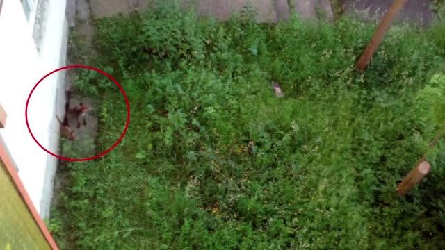 Orasul din Romania invadat de vulpi. Oamenii povestesc ca au vazut cum mananca din farfurii, in restaurante