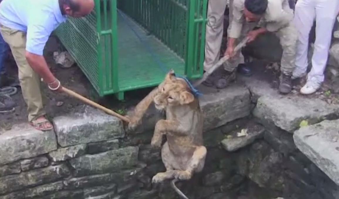 Operatiune de salvare a unui leu care a cazut intr-un put adanc de 24 de metri, in India. Cum au reusit sa-l scoata