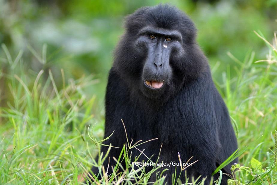 Disputa in instanta intre un fotograf si aparatorii unei maimute pe drepturile de autor ale unui selfie realizat de primata