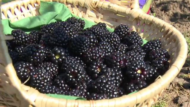 An profitabil pentru cei care au pariat pe culturile de fructe de padure. Cat a castigat un barbat din 15 ari de mure
