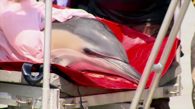 Imagini dureroase cu masacrul facut de braconieri in Marea Neagra. Sturioni si delfini, gasiti morti in plasele acestora