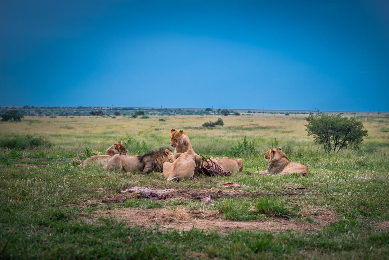 Braconieri de coarne de rinocer, mâncaţi de lei în Africa de Sud
