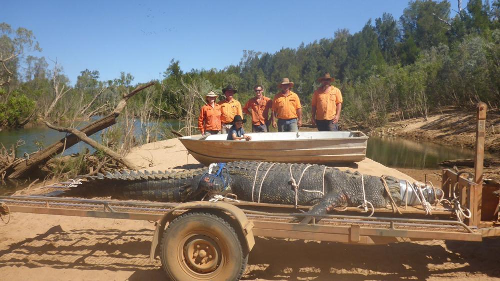Un crocodil uriaș a fost capturat în Australia. Era căutat de peste 10 ani
