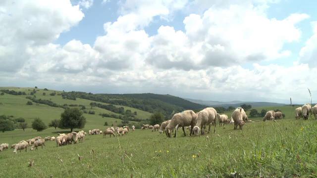 E criză de ciobani iar fermierii dau vina pe ajutoarele sociale. Salariul primit de un cioban priceput