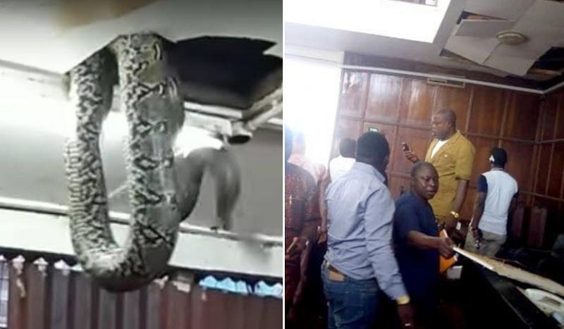 Șarpe uriaș căzut din tavan bagă spaima în zeci de parlamentari