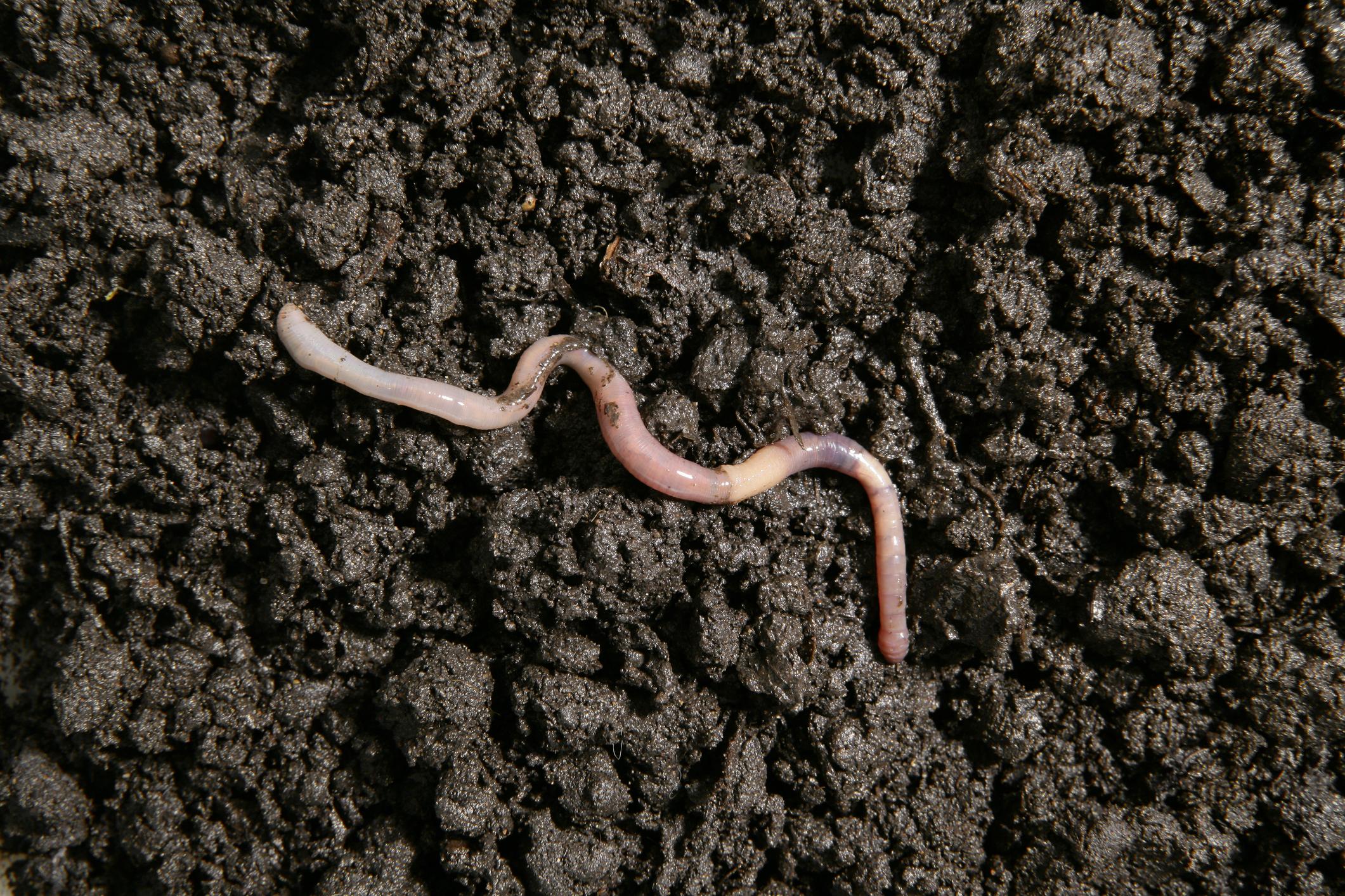 S-a trezit cu un vierme viu de 4 cm în amigdale. Cum a ajuns acolo este revoltător