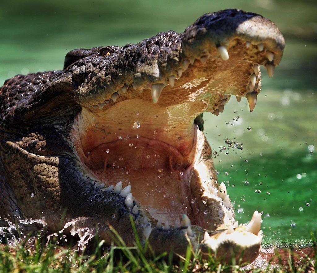 Un crocodil gigant a ucis o fetiță chiar sub ochii prietenilor. Animalul, omorât cu o suliță