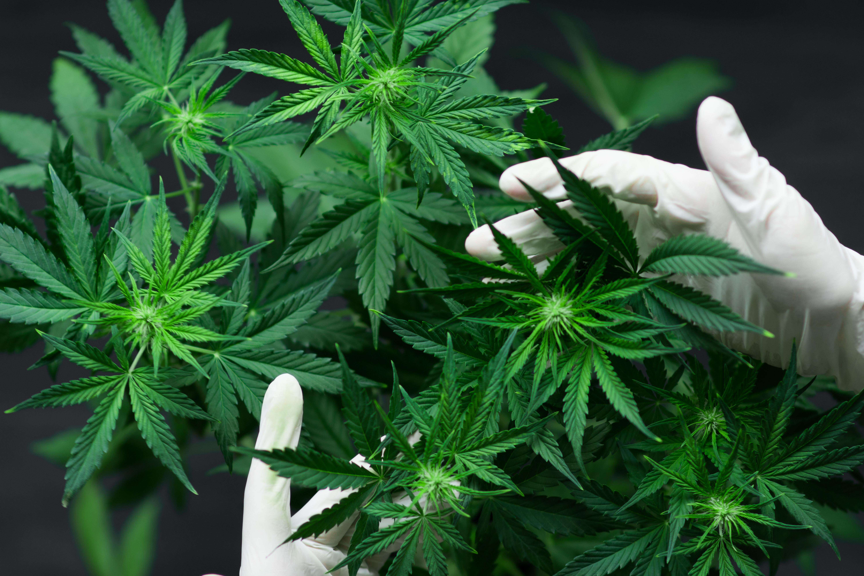 Cultură de cannabis, într-o localitate din Dâmbovița. Zeci de persoane au fost duse la audieri