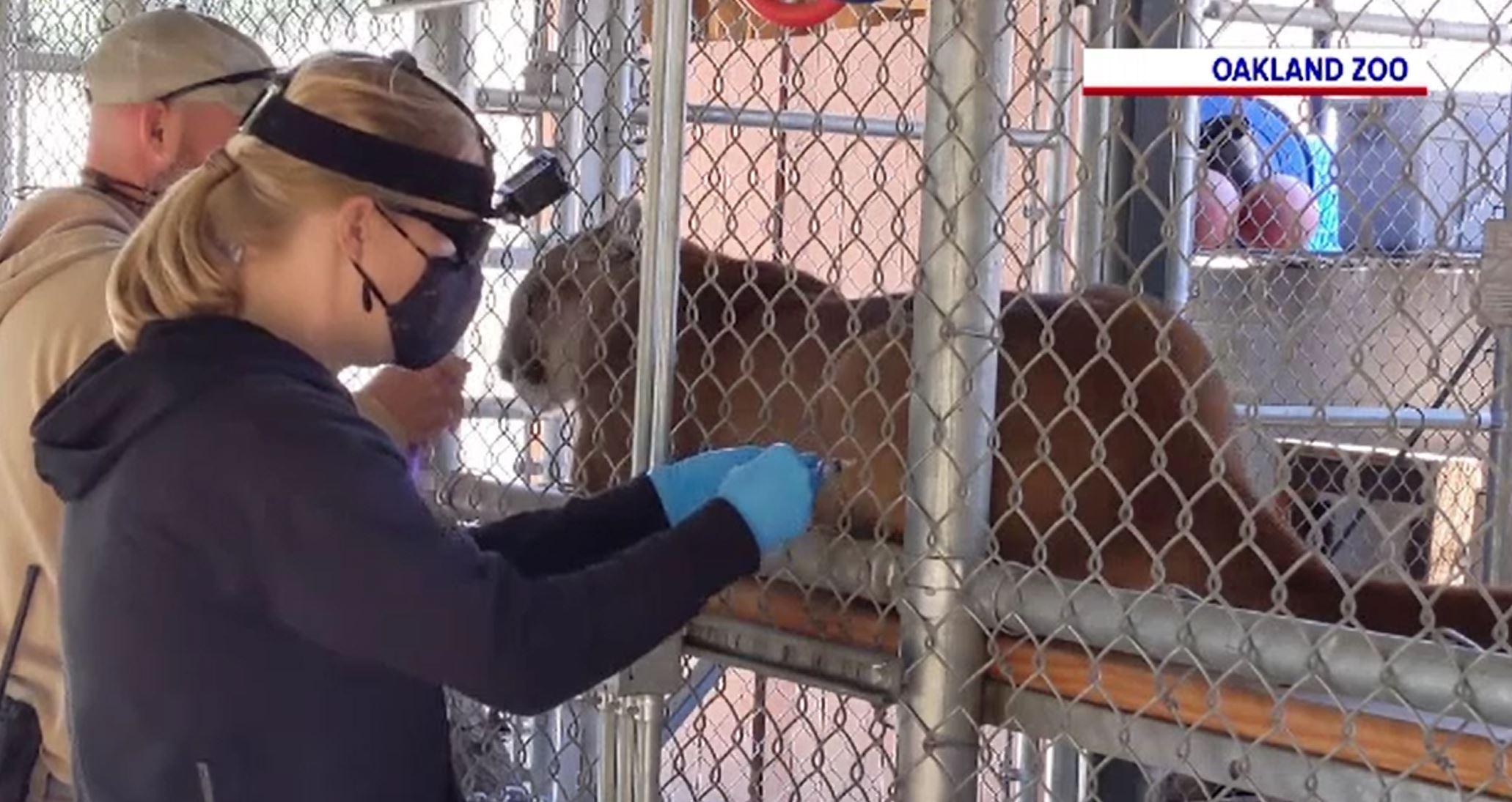 O grădină zoologică din Statele Unite a început să își vaccineze animalele anti-COVID