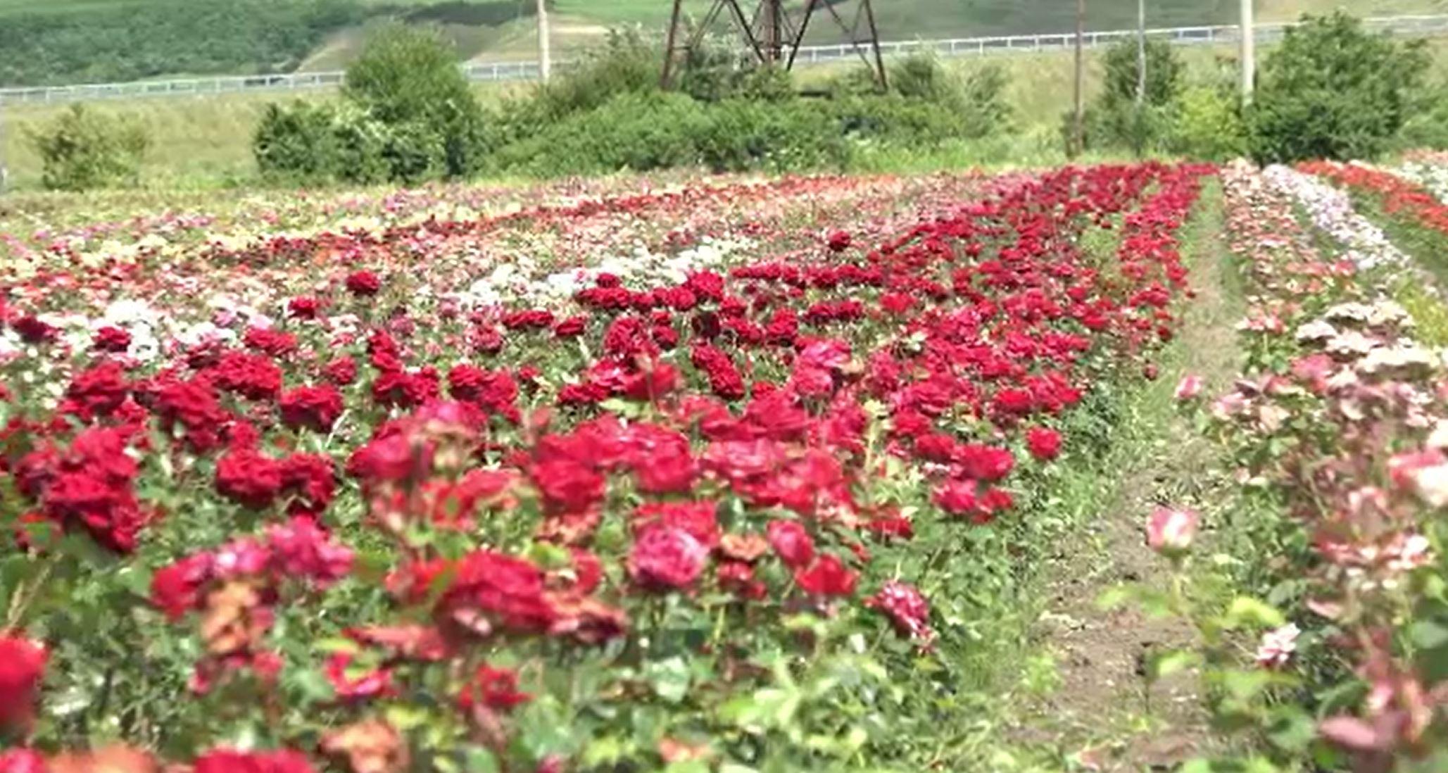 Horticultorii români dezvoltă trandafiri unici în Europa. Care sunt cele mai căutate soiuri