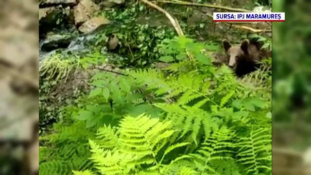 Un urs a căzut în capcana unor braconieri, la poalele Munților Maramureșului. Un localnic a dat alarma
