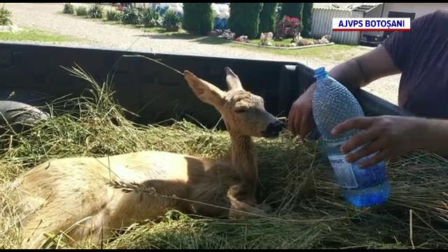 O căprioară a supraviețuit în mod miraculos după ce a fost lovită de o mașină în Botoșani