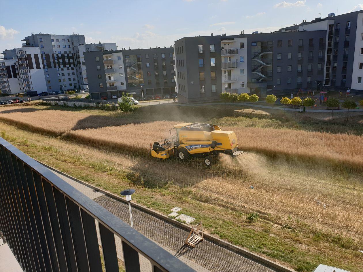 Imagini virale. Fermier filmat când își recoltează grâul de pe un teren aflat între blocuri