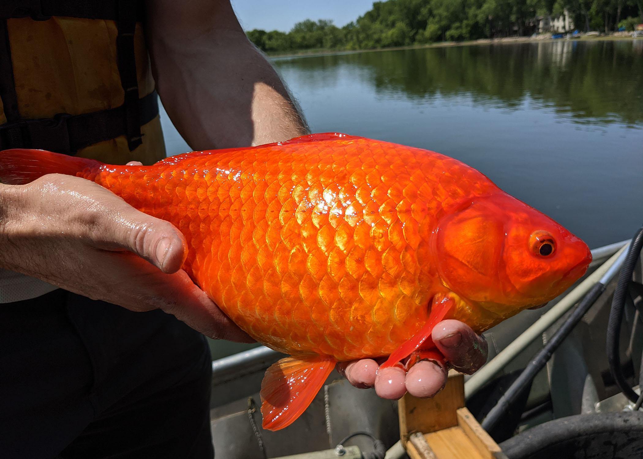 Pești aurii uriași au apărut într-un lac din SUA, iar autoritățile trag un semnal de alarmă. De ce sunt periculoși