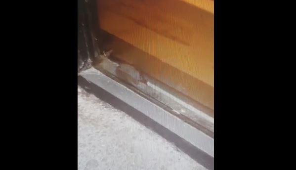 Covrigărie din Galați, închisă de OPC după ce au apărut imagini cu un şoarece care se plimba prin magazin. VIDEO